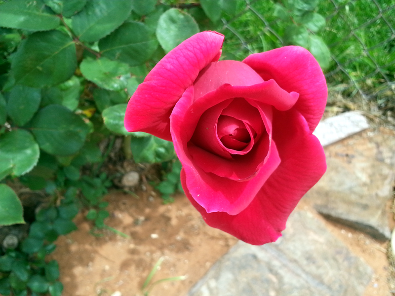 Mr. Lincoln Red Rose Opening