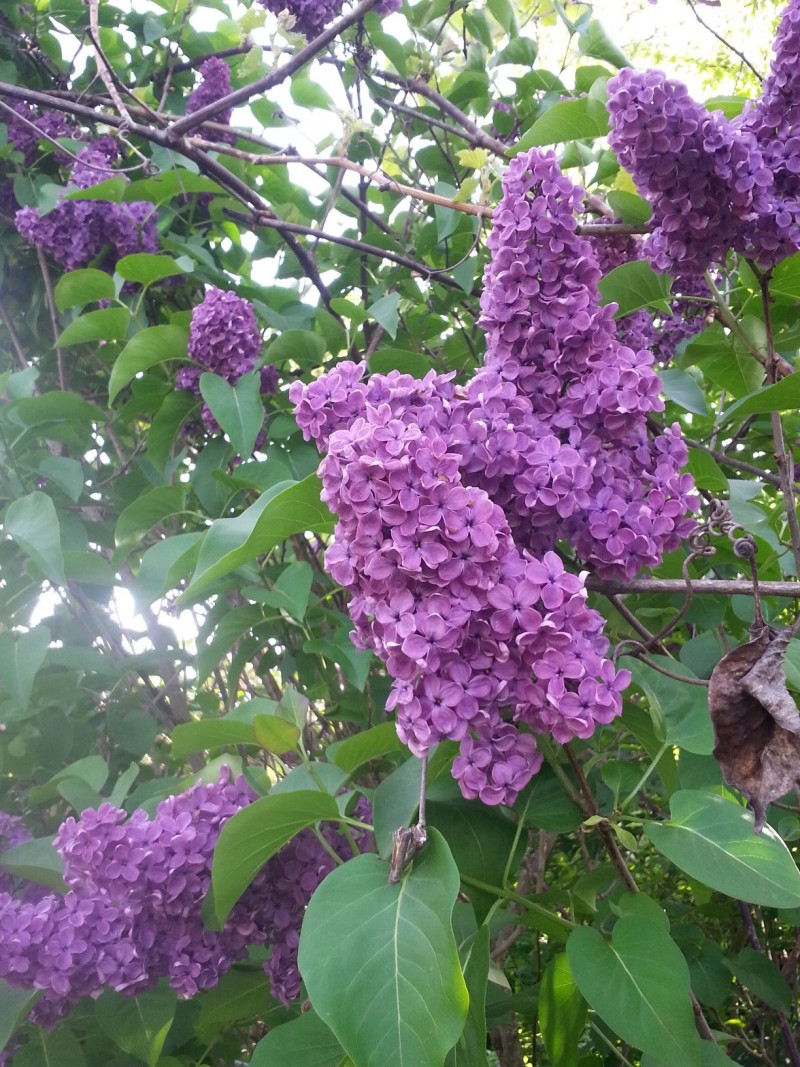 Huge Purple Lilacs in the Northwest